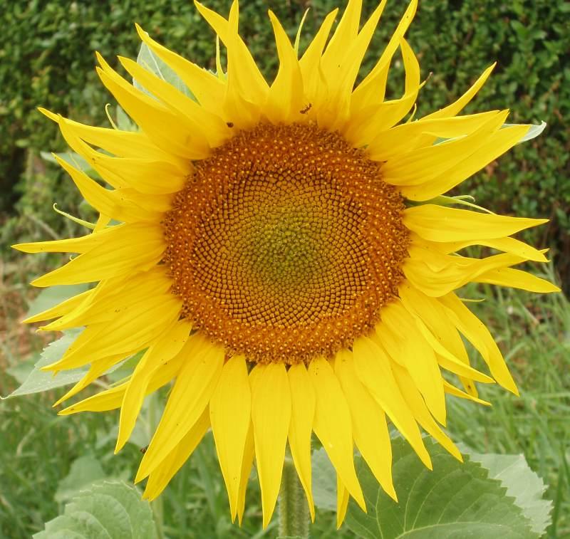 fleur de tournesol & fibonacci